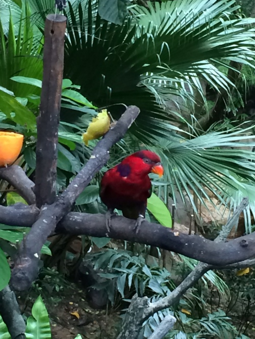"the famous ""cinnamon bird of Panama"" (just kidding, it's some kind of parrot)"